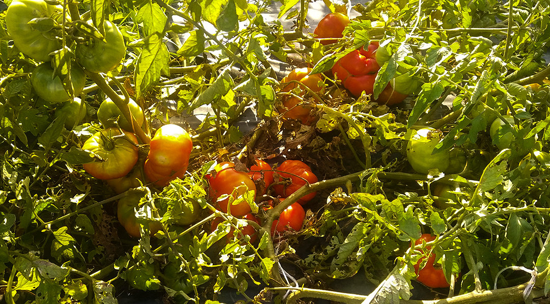 Experimento tomate
