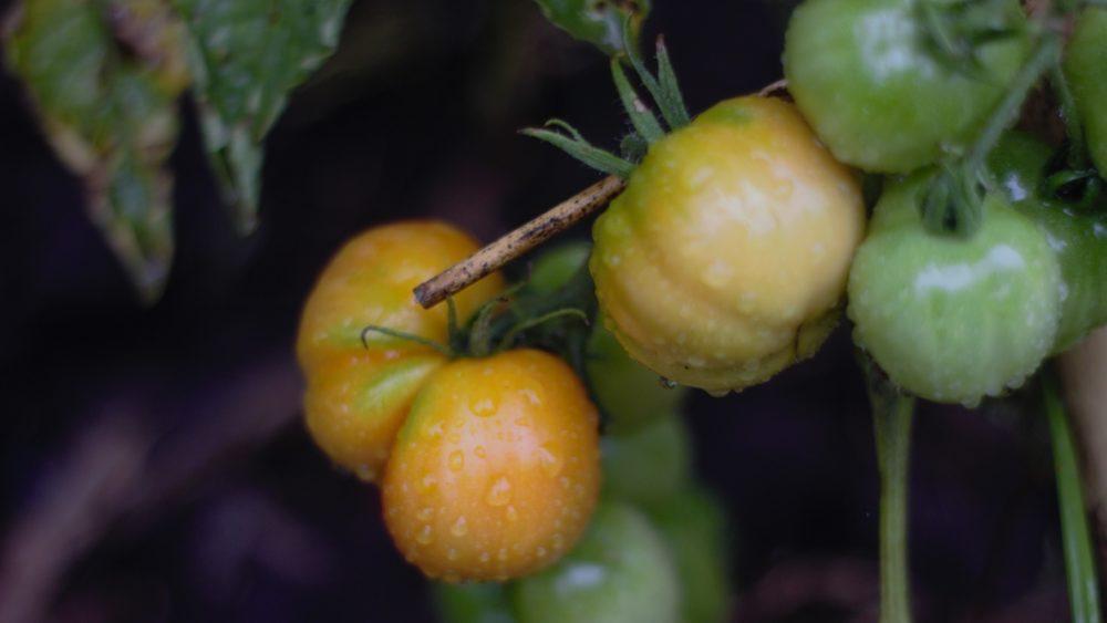 Tomates criollos biodinámicos