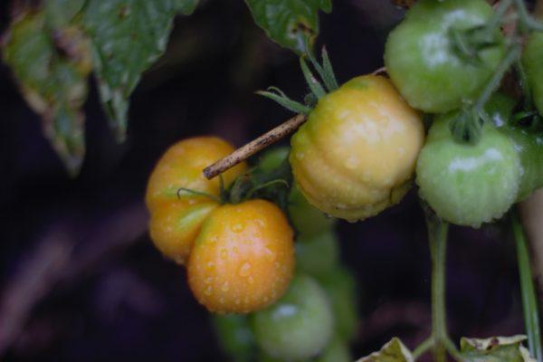 Hacia el mejoramiento colaborativo: tomates criollos con cuidados biodinámicos