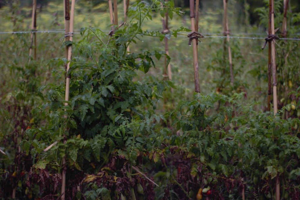 Planta de tomate criollo