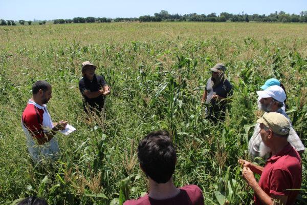 Taller de mejoramiento colaborativo de maíz en Pergamino