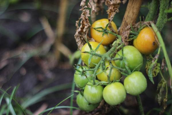 """Segundo taller """"Hacia el mejoramiento participativo de tomate"""""""
