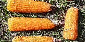 Experimento maíz